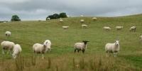 pecore irlandesi