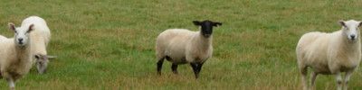 pecore irlanda